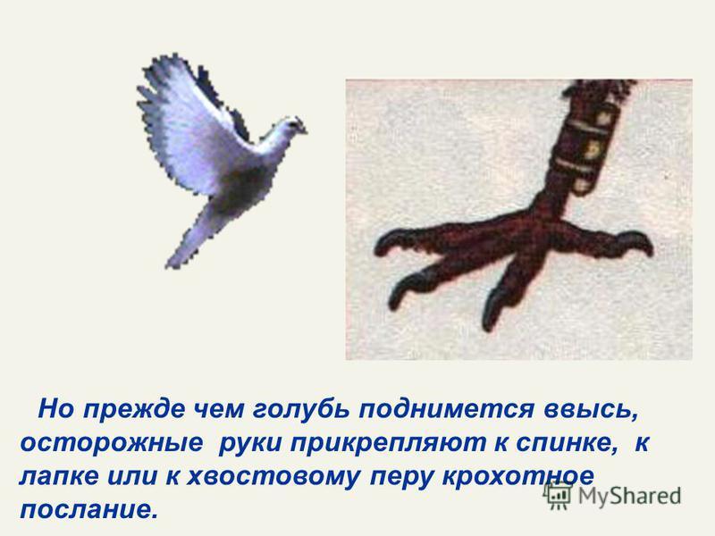 Но прежде чем голубь поднимется ввысь, осторожные руки прикрепляют к спинке, к лапке или к хвостовому перу крохотное послание.