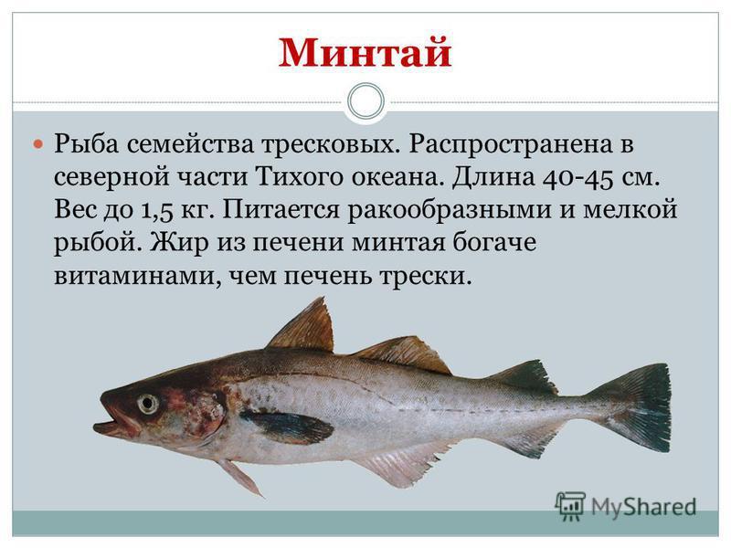 Минтай Рыба семейства тресковых. Распространена в северной части Тихого океана. Длина 40-45 см. Вес до 1,5 кг. Питается ракообразными и мелкой рыбой. Жир из печени минтая богаче витаминами, чем печень трески.