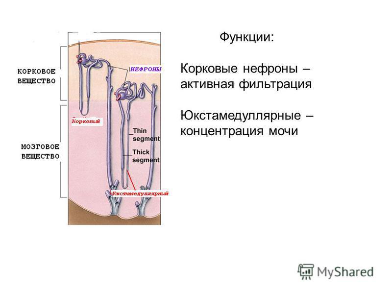 Функции: Корковые нефроны – активная фильтрация Юкстамедуллярные – концентрация мочи