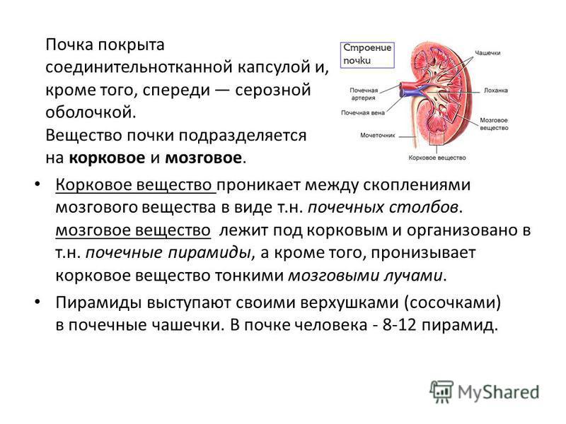 Почка покрыта соединительнотканной капсулой и, кроме того, спереди серозной оболочкой. Вещество почки подразделяется на корковое и мозговое. Корковое вещество проникает между скоплениями мозгового вещества в виде т.н. почечных столбов. мозговое вещес