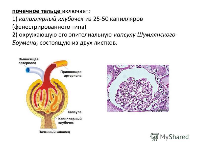 почечное тельце включает: 1) капиллярный клубочек из 25-50 капилляров (фенестрированного типа) 2) окружающую его эпителиальную капсулу Шумлянского- Боумена, состоящую из двух листков.