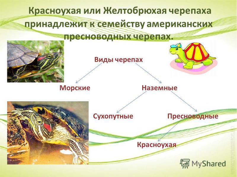 Красноухая или Желтобрюхая черепаха принадлежит к семейству американских пресноводных черепах. Виды черепах Морские Наземные Сухопутные Пресноводные Красноухая