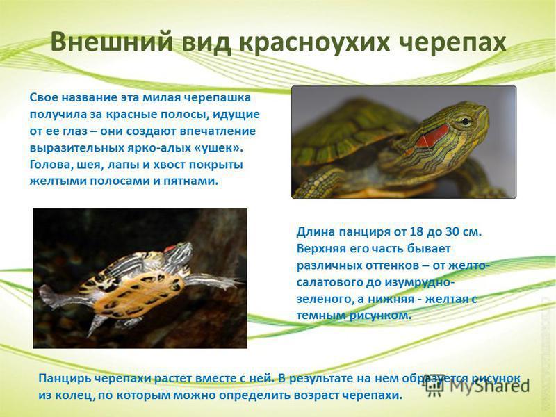 Внешний вид красноухих черепах Длина панциря от 18 до 30 см. Верхняя его часть бывает различных оттенков – от желто- салатового до изумрудно- зеленого, а нижняя - желтая с темным рисунком. Свое название эта милая черепашка получила за красные полосы,