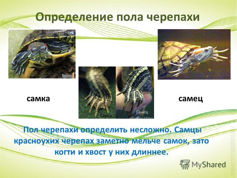 Определение пола черепахи Пол черепахи определить несложно. Самцы красноухих черепах заметно мельче самок, зато когти и хвост у них длиннее. самка самец