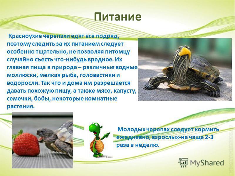 Проект про красноухую черепаху
