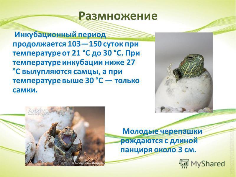Размножение Инкубационный период продолжается 103150 суток при температуре от 21 °C до 30 °C. При температуре инкубации ниже 27 °C вылупляются самцы, а при температуре выше 30 °C только самки. Молодые черепашки рождаются с длиной панциря около 3 см.