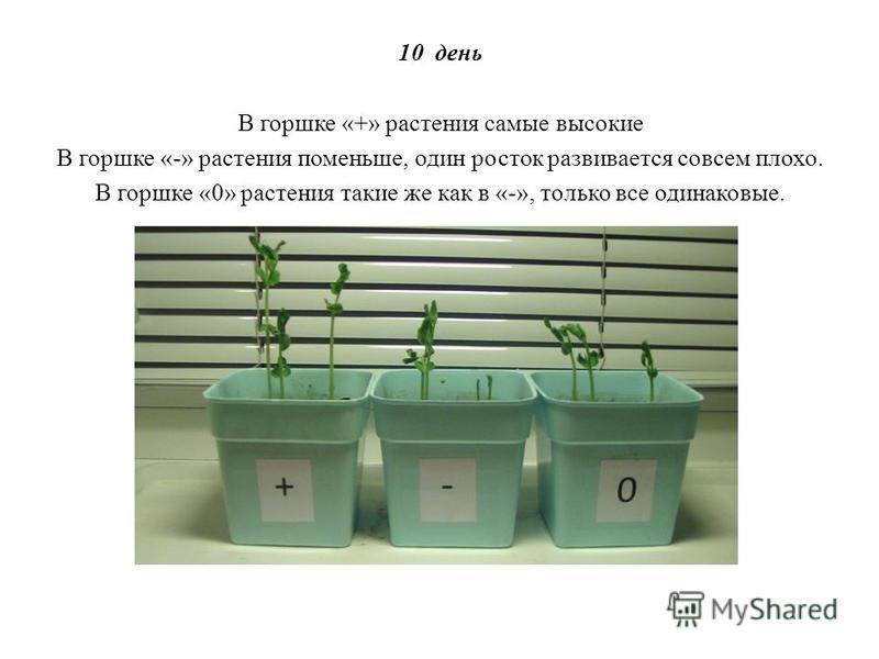 10 день В горшке «+» растения самые высокие В горшке «-» растения поменьше, один росток развивается совсем плохо. В горшке «0» растения такие же как в «-», только все одинаковые.
