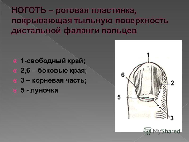 1-свободный край; 2,6 – боковые края; 3 – корневая часть; 5 - луночка