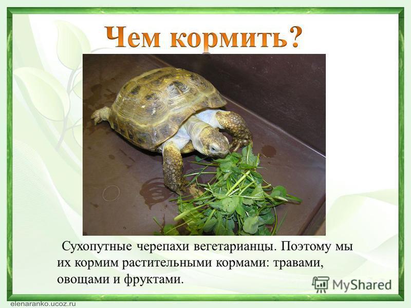 Сухопутные черепахи вегетарианцы. Поэтому мы их кормим растительными кормами: травами, овощами и фруктами.