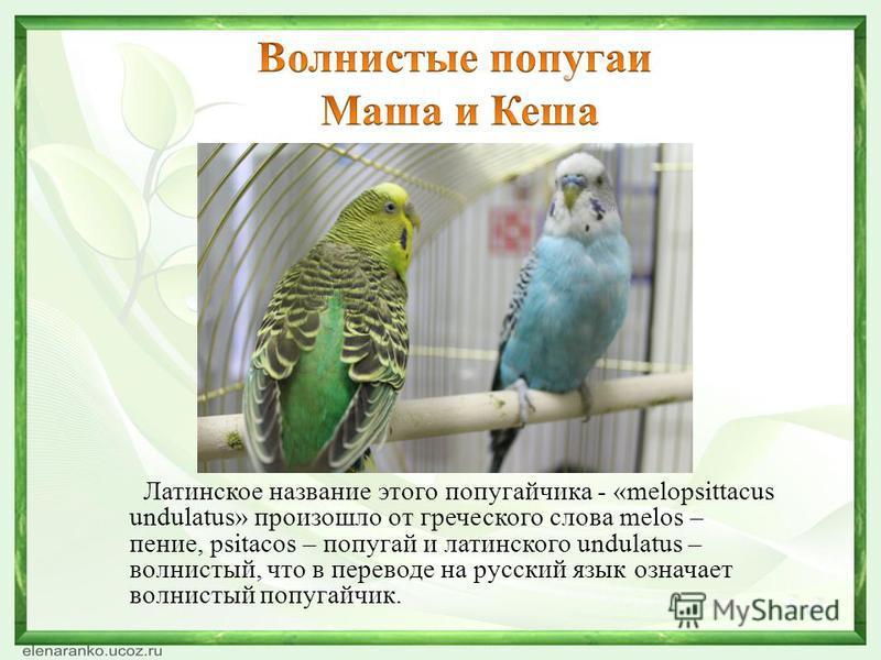 Латинское название этого попугайчика - «melopsittacus undulatus» произошло от греческого слова melos – пение, psitacos – попугай и латинского undulatus – волнистый, что в переводе на русский язык означает волнистый попугайчик.