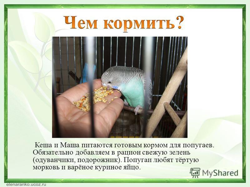 Кеша и Маша питаются готовым кормом для попугаев. Обязательно добавляем в рацион свежую зелень (одуванчики, подорожник). Попугаи любят тёртую морковь и варёное куриное яйцо.