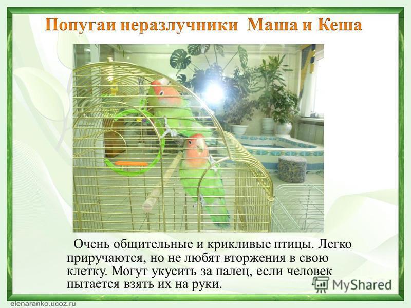 Очень общительные и крикливые птицы. Легко приручаются, но не любят вторжения в свою клетку. Могут укусить за палец, если человек пытается взять их на руки.