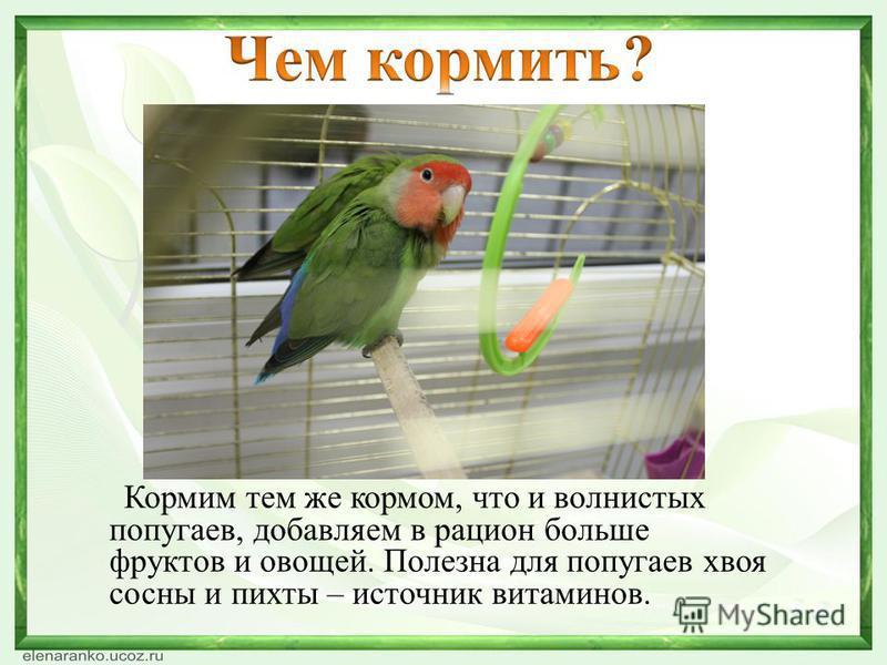 Кормим тем же кормом, что и волнистых попугаев, добавляем в рацион больше фруктов и овощей. Полезна для попугаев хвоя сосны и пихты – источник витаминов.