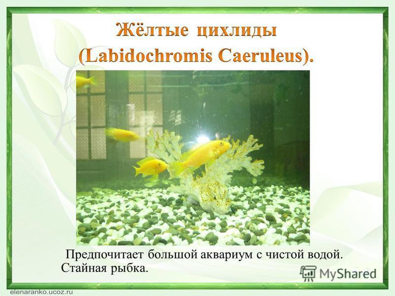 Предпочитает большой аквариум с чистой водой. Стайная рыбка.
