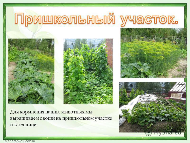 Для кормления наших животных мы выращиваем овощи на пришкольном участке и в теплице.