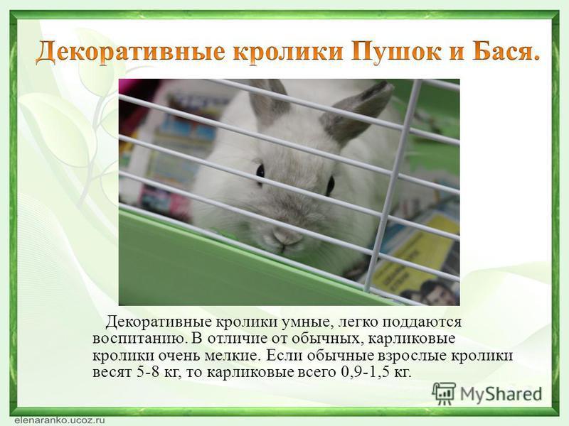 Декоративные кролики умные, легко поддаются воспитанию. В отличие от обычных, карликовые кролики очень мелкие. Если обычные взрослые кролики весят 5-8 кг, то карликовые всего 0,9-1,5 кг.