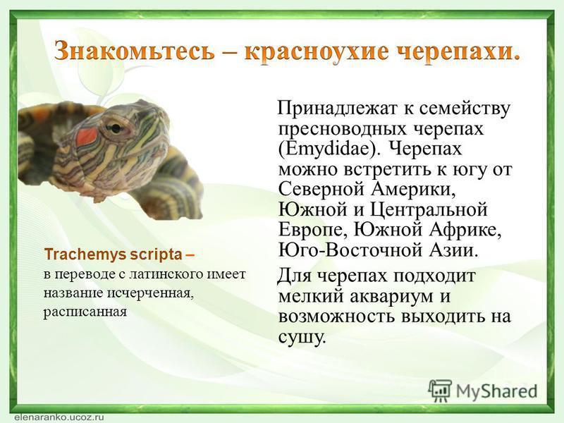 Trachemys scripta – в переводе с латинского имеет название исчерченная, расписанная Принадлежат к семейству пресноводных черепах (Emydidae). Черепах можно встретить к югу от Северной Америки, Южной и Центральной Европе, Южной Африке, Юго-Восточной Аз