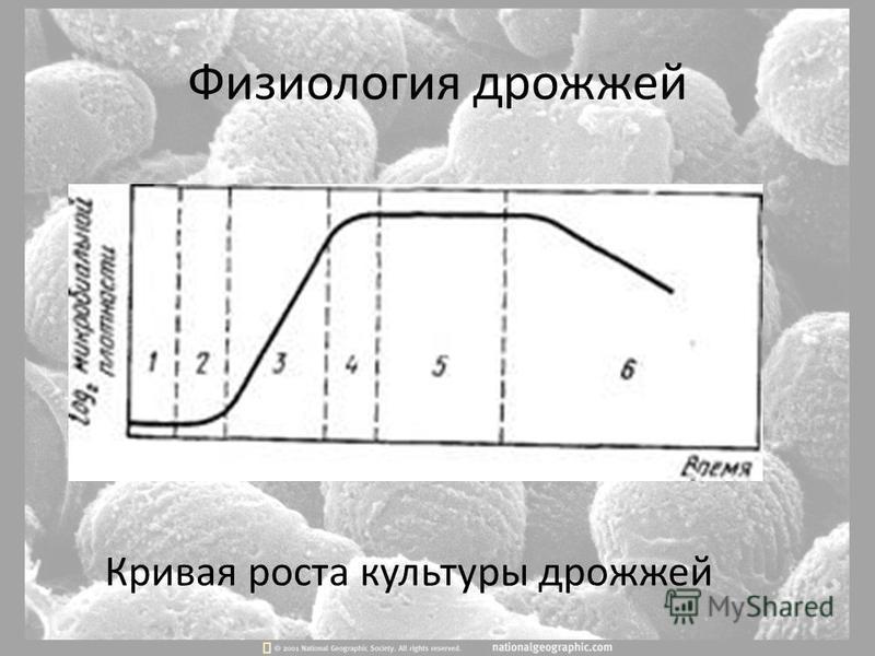 Физиология дрожжей Кривая роста культуры дрожжей