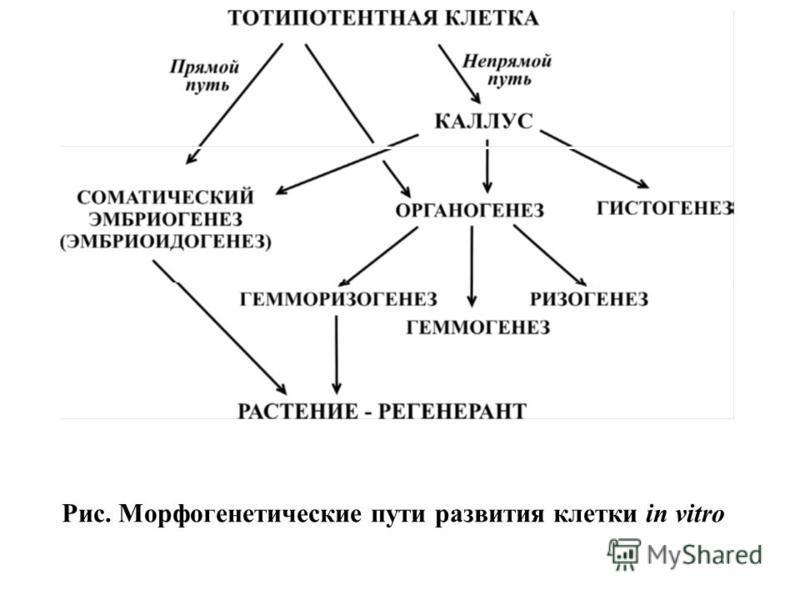 Рис. Морфогенетические пути развития клетки in vitro
