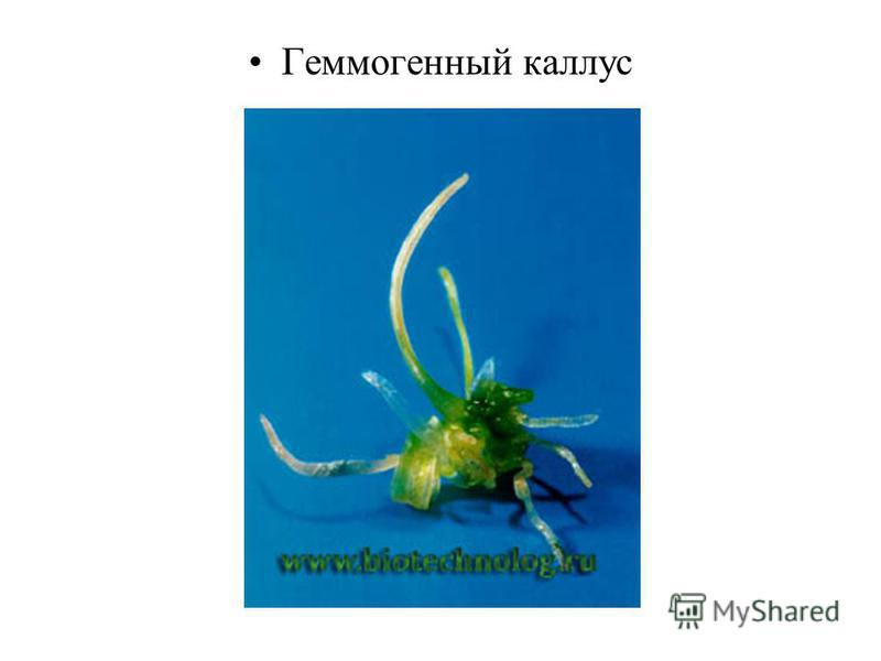 Геммогенный каллус
