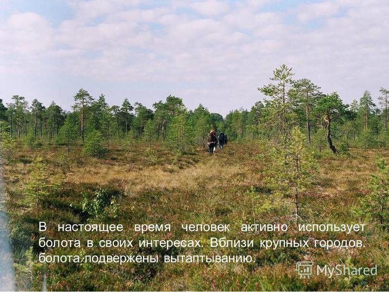 В настоящее время человек активно использует болота в своих интересах. Вблизи крупных городов. болота подвержены вытаптыванию.