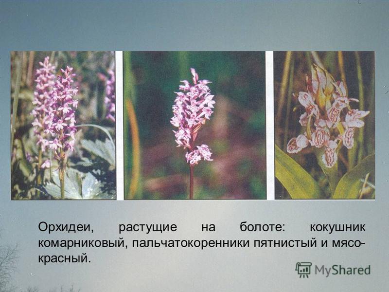 Орхидеи, растущие на болоте: кокушник комарниковый, пальчатокоренники пятнистый и мясо- красный.