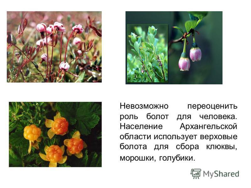 Невозможно переоценить роль болот для человека. Население Архангельской области использует верховые болота для сбора клюквы, морошки, голубики.