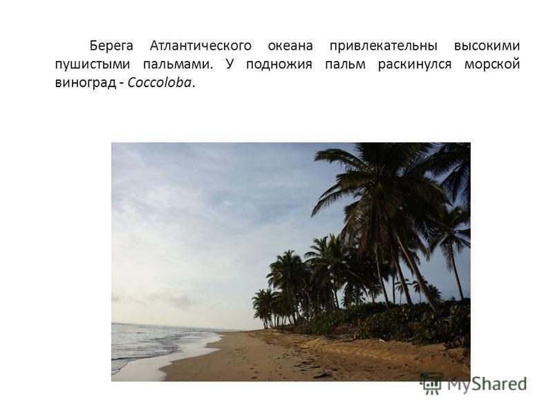 Берега Атлантического океана привлекательны высокими пушистыми пальмами. У подножия пальм раскинулся морской виноград - Coccoloba.