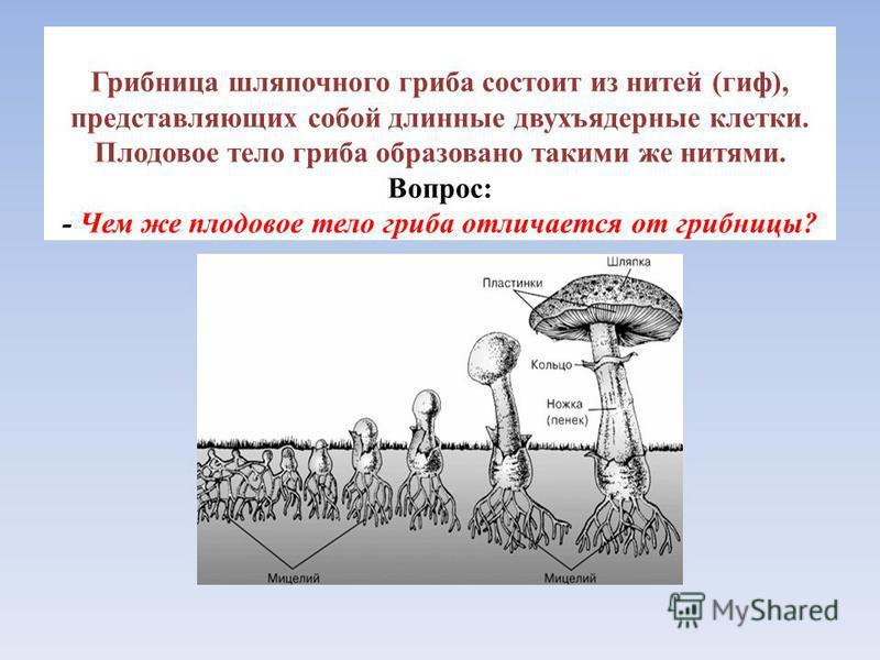 Грибница шляпочного гриба состоит из нитей (гиф), представляющих собой длинные двухъядерные клетки. Плодовое тело гриба образовано такими же нитями. Вопрос: - Чем же плодовое тело гриба отличается от грибницы?