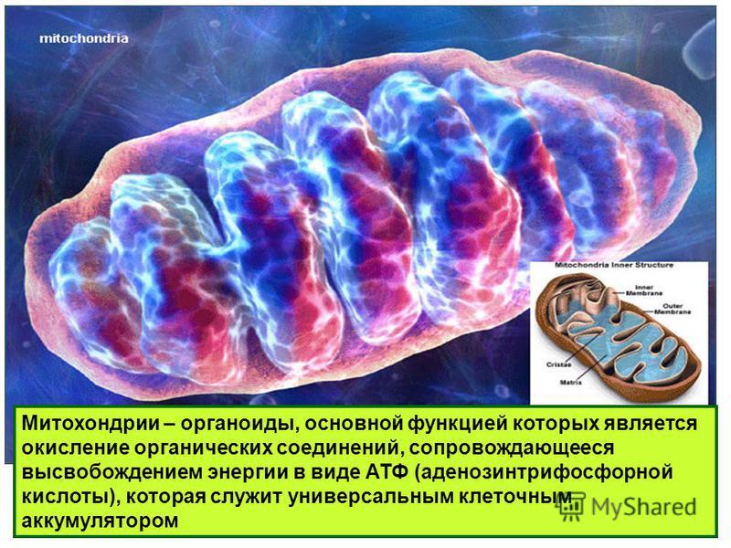 Митохондрии – органоиды, основной функцией которых является окисление органических соединений, сопровождающееся высвобождением энергии в виде АТФ (аденозинтрифосфорной кислоты), которая служит универсальным клеточным аккумулятором