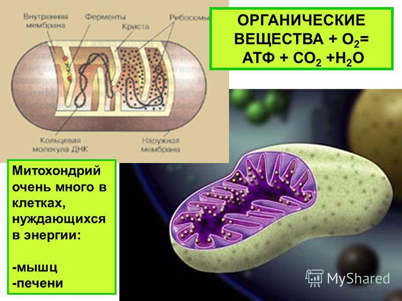 ОРГАНИЧЕСКИЕ ВЕЩЕСТВА + О 2 = АТФ + СО 2 +Н 2 О Митохондрий очень много в клетках, нуждающихся в энергии: -мышц -печени