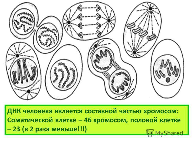 ДНК человека является составной частью хромосом: Соматической клетке – 46 хромосом, половой клетке – 23 (в 2 раза меньше!!!)