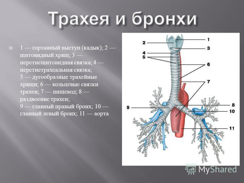 1 гортанный выступ ( кадык ); 2 щитовидный хрящ ; 3 перстнещитовидная связка ; 4 перстнетрахеальная связка ; 5 дугообразные трахейные хрящи ; 6 кольцевые связки трахеи ; 7 пищевод ; 8 раздвоение трахеи ; 9 главный правый бронх ; 10 главный левый брон