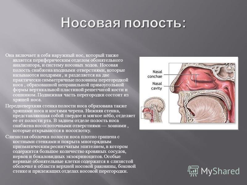 Она включает в себя наружный нос, который также является периферическим отделом обонятельного анализатора, и систему носовых ходов. Носовая полость снабжена входными отверстиями, которые называются ноздрями, и разделяется на две практически симметрич