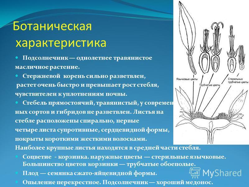 Ботаническая характеристика Подсолнечник однолетнее травянистое масличное растение. Стержневой корень сильно разветвлен, растет очень быстро и превышает рост стебля, чувствителен к уплотнениям почвы. Стебель прямостоячий, травянистый, у современных с