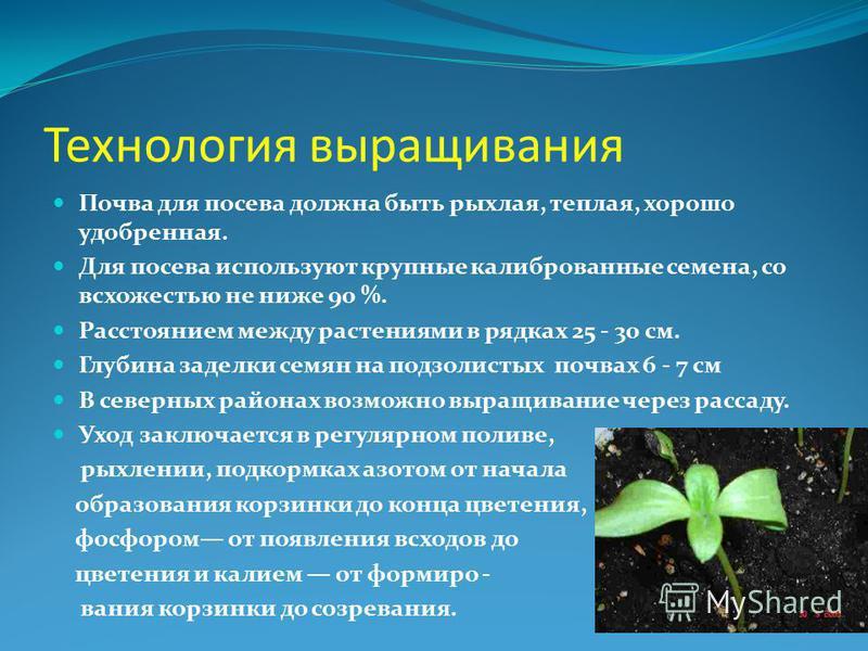 Технология выращивания Почва для посева должна быть рыхлая, теплая, хорошо удобренная. Для посева используют крупные калиброванные семена, со всхожестью не ниже 90 %. Расстоянием между растениями в рядках 25 - 30 см. Глубина заделки семян на подзолис