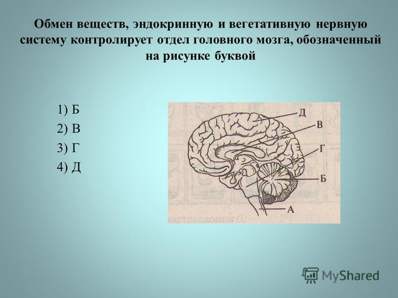 Обмен веществ, эндокринную и вегетативную нервную систему контролирует отдел головного мозга, обозначенный на рисунке буквой 1)Б 2)В 3)Г 4)Д