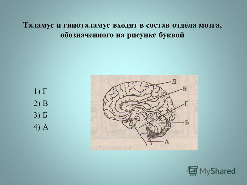 Таламус и гипоталамус входят в состав отдела мозга, обозначенного на рисунке буквой 1)Г 2)В 3)Б 4)А