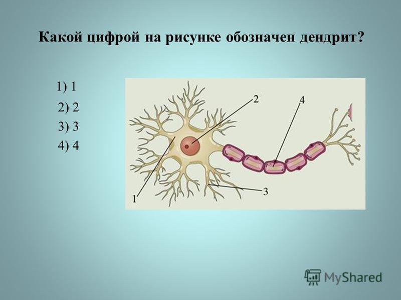 Какой цифрой на рисунке обозначен дендрит? 1) 1 2) 2 3) 3 4) 4
