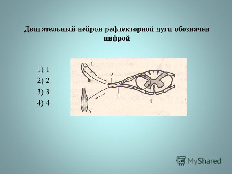 Двигательный нейрон рефлекторной дуги обозначен цифрой 1)1 2)2 3)3 4)4