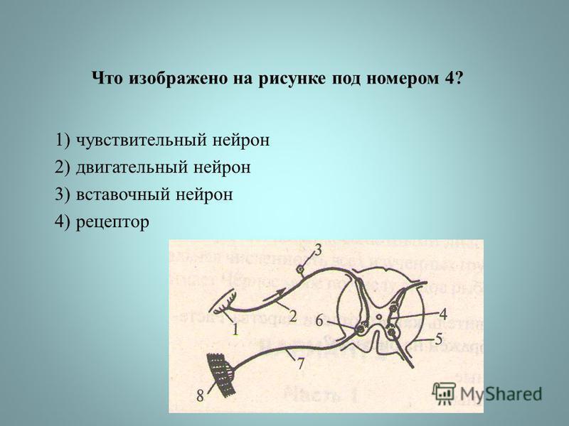 Что изображено на рисунке под номером 4? 1)чувствительный нейрон 2)двигательный нейрон 3)вставочный нейрон 4)рецептор
