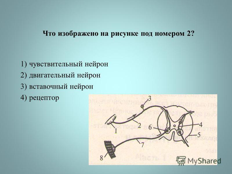 Что изображено на рисунке под номером 2? 1)чувствительный нейрон 2)двигательный нейрон 3)вставочный нейрон 4)рецептор