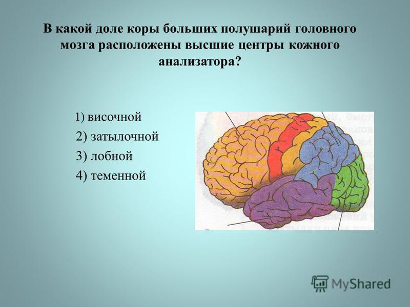 В какой доле коры больших полушарий головного мозга расположены высшие центры кожного анализатора? 1) височной 2) затылочной 3) лобной 4) теменной