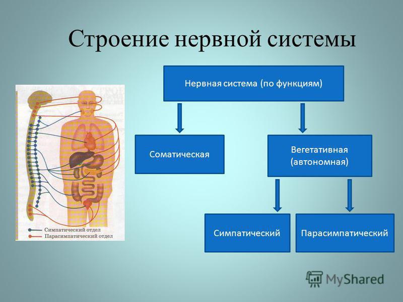 Строение нервной системы Нервная система (по функциям) Соматическая Вегетативная (автономная) Симпатический Парасимпатический