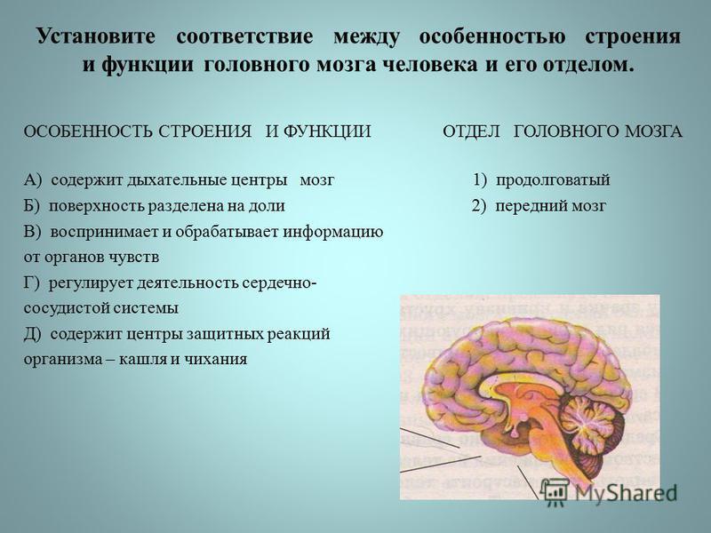 Установите соответствие между особенностью строения и функции головного мозга человека и его отделом. ОСОБЕННОСТЬ СТРОЕНИЯ И ФУНКЦИИ ОТДЕЛ ГОЛОВНОГО МОЗГА А) содержит дыхательные центры мозг 1) продолговатый Б) поверхность разделена на доли 2) передн
