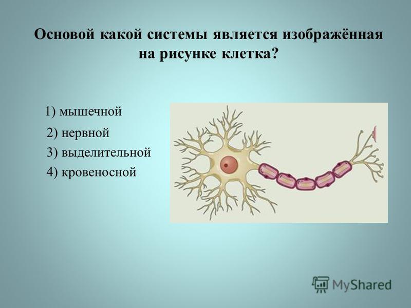 Основой какой системы является изображённая на рисунке клетка? 1) мышечной 2) нервной 3) выделительной 4) кровеносной