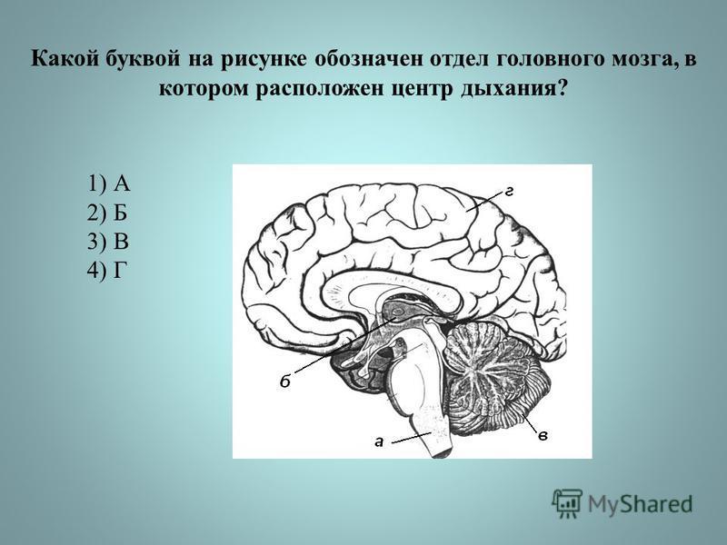 Какой буквой на рисунке обозначен отдел головного мозга, в котором расположен центр дыхания? 1) А 2) Б 3) В 4) Г