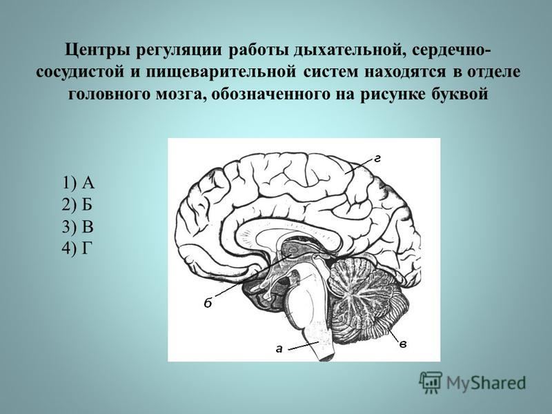 Центры регуляции работы дыхательной, сердечно- сосудистой и пищеварительной систем находятся в отделе головного мозга, обозначенного на рисунке буквой 1) А 2) Б 3) В 4) Г
