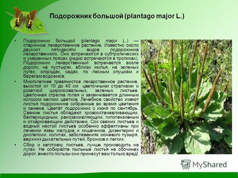 Подорожник большой (plantago major L.) Подорожник большой (plantago major L.) старинное лекарственное растение. Известно около двухсот пятидесяти видов подорожника лекарственного. Они встречаются в субтропических и умеренных поясах (редко встречаются