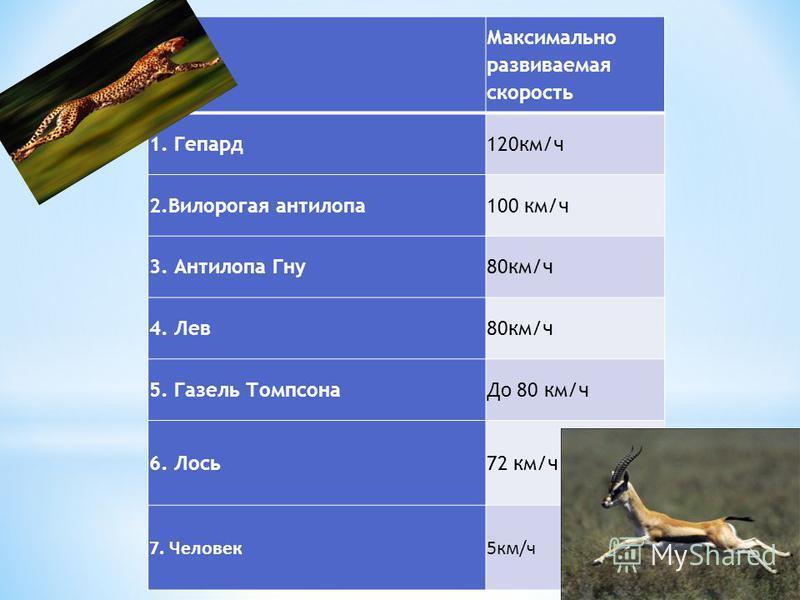 Максимально развиваемая скорость 1. Гепард 120 км/ч 2. Вилорогая антилопа 100 км/ч 3. Антилопа Гну 80 км/ч 4. Лев 80 км/ч 5. Газель Томпсона До 80 км/ч 6. Лось 72 км/ч 7. Человек 5 км/ч
